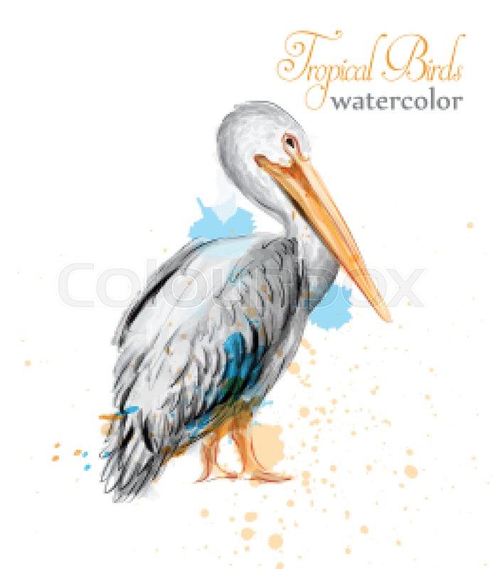 693x800 Pelican Watercolor Vector. Tropic Colorful Bird Illustration