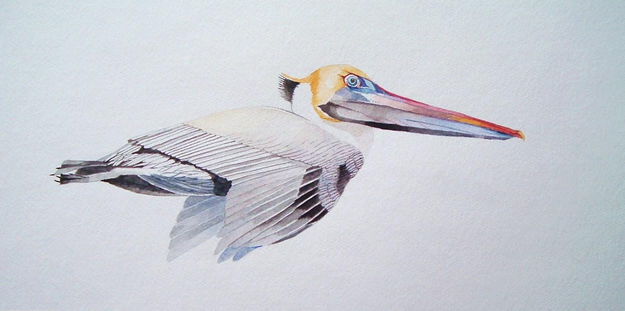 1245x621 Tom Bose Watercolors Brown Pelican In Flight Watercolor