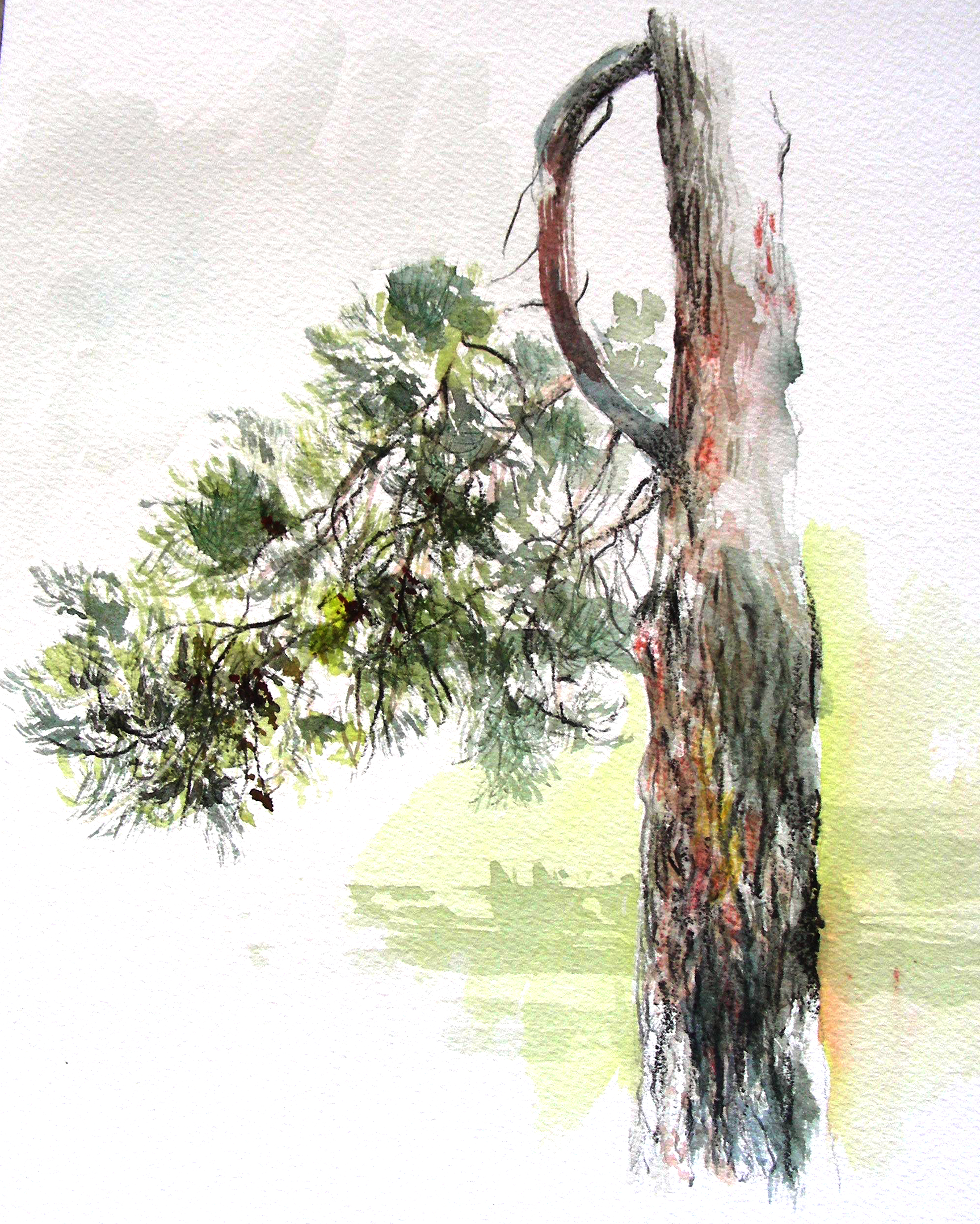 4000x4996 Dry Brush Watercolor Study Of A Pine Tree In Star Harbor, Texas