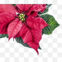 260x260 Poinsettia Png, Vectors, Psd, And Clipart For Free Download Pngtree