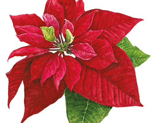 500x400 How To Paint A Poinsettia In Watercolour