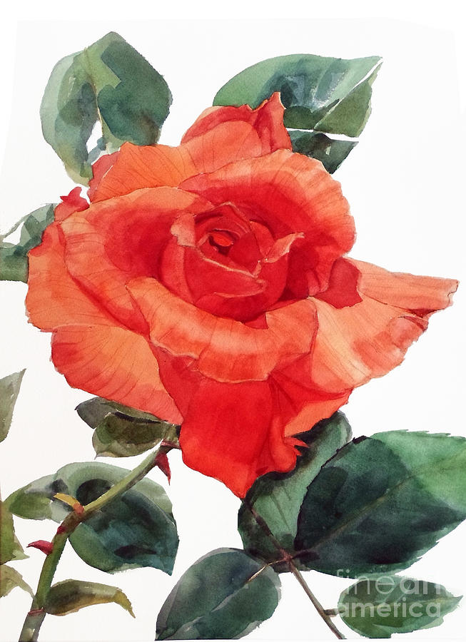 653x900 Watercolor Of A Single Red Rose I Call Red Rose Filip Painting By