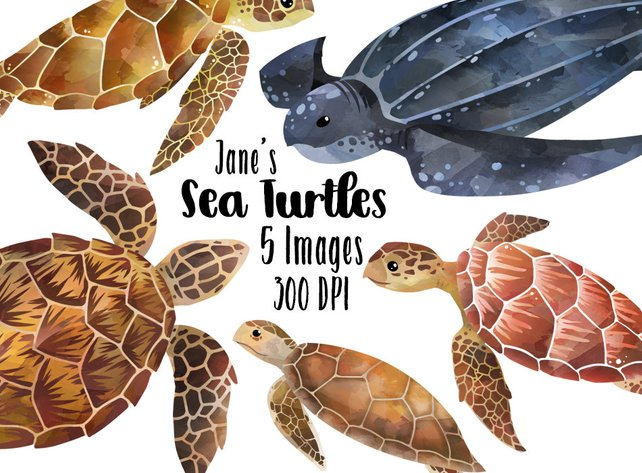 642x473 Watercolor Sea Turtles Clipart Sea Turtle Species Download Etsy