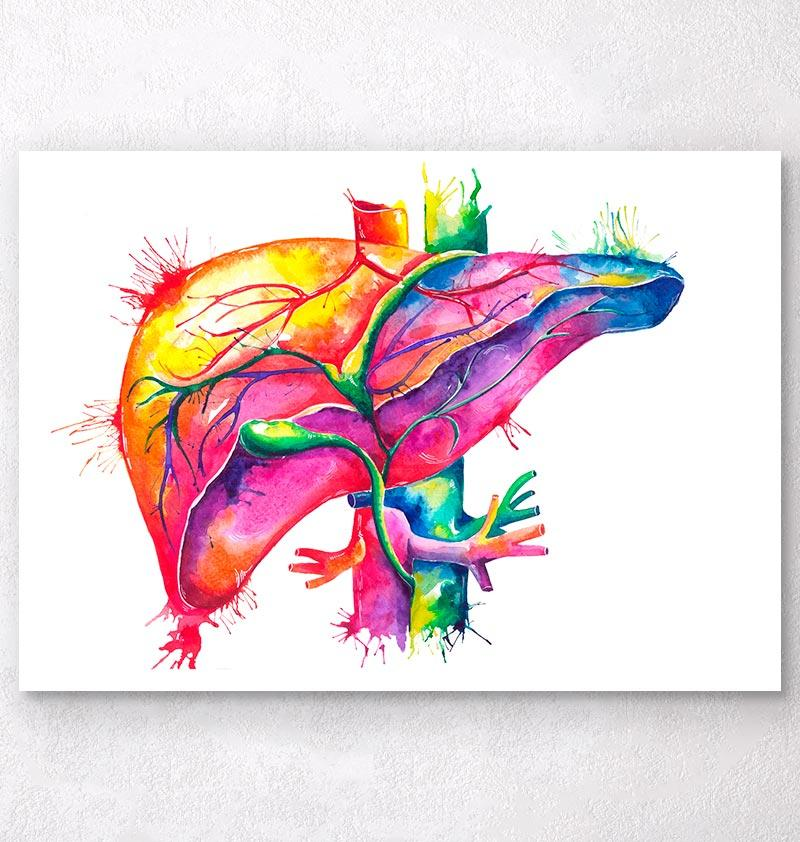 800x842 Watercolor Liver Anatomy Art Print